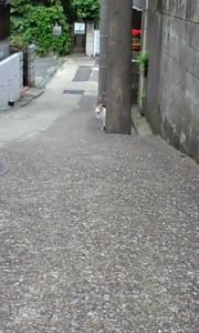090516_警戒心の強い首輪をした三毛さん01.jpg